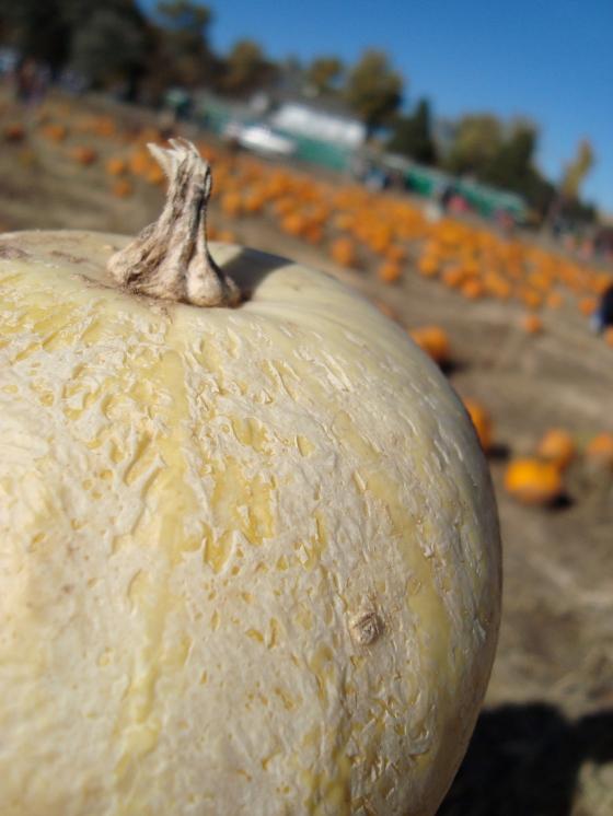 White Pumpkins! Very Martha Stewart.